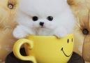 Beautiful Teacup Puppies - Micro teacup Pomeranian puppies for sale Facebook