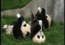 Bebek pandalardan biberon şov :)