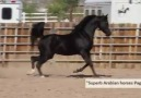 Beijon Black Arabian Stallion.Credits to Superb Arabian horses