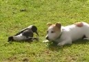 Bird playing with dog!