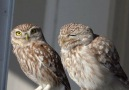 Birds of Turkey - Little Owl Kukumav