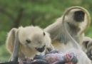 Bir yas hikayesi... Oyuncak maymun ölürse ne olur