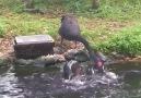 Black swan feeding the fish!