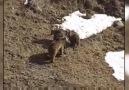 Boz ayılar Şavşat'ta beslenip Sarıkamış'ta uyuyor