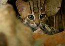 Bugün ve karşınızda dünyanın en küçük kedi cinsi Paslı kedi