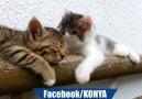 Bu kediler konyalı olabilir : )
