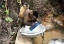 Bulaşık Yıkayan Maymun :)
