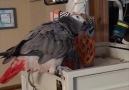 Bu papağanlar gerçekten oldukça eğlenceliler...