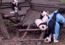 Can you think of anything better than taking care of a bunch of pandas