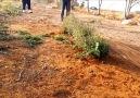 capture chardonnerets en Syrie
