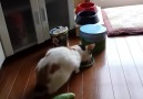 Cat gets scared by a sneaky cucumber