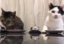 Cats Waiter Please