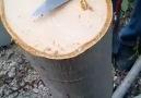 Ceviz ağacı aşılaması.