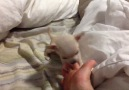 Chihuahua Puppy Bites Toes