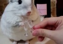Chinchilla Only Drinks Classy Drinks