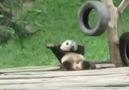 Cik Panda Dougie