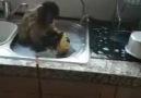 Çilekeş Maymun....
