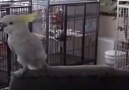 Çılgın Kuşlardan Folklor Gösterisi