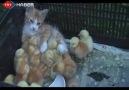 Civcivlere Annelik Yapan Kedi