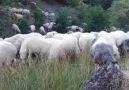 Çoban Ali nede güzel çalmış Bak yine yollara ağla sevgilim