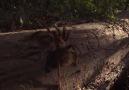 Çocukların Ormanda Tarantula Avı