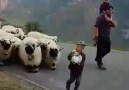 COMING BACK FROM SHOW AFTER BEING... - Valais Blacknose Sheep Scotland