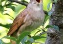 Creation - Birds Chirping Facebook