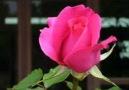 Cri * Tango Rose