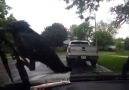Crow Takes A Ride On A Window Wiper