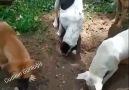Cudinin Günlüğü - En iyi arkadaşlarımız hayvanlardır...ne...