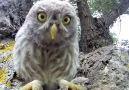 Curios Owl...