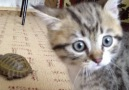 Cute kitten plays with a turtle!