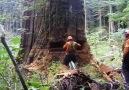 Dağ gibi ağacın yıkılma anları
