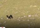 Dağ keçisini gözüne kestiren kartal keçi inadına yenildi