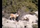 Dağ Keçisi Sevenler  Buyrun  İzlemeye