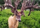 Deer with amazing antlers