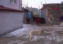 Demirören Haber Ajansı - Aç kalan kurtlar köpeği parçaladı Facebook