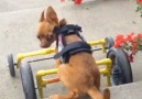 Disabled Dog Does Wheelchair Parkour