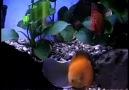 Discus Fish Tank Aquarium