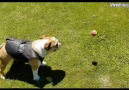 Dog Chases Ball On A Stick