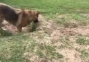 Dog Gets Confused By A Fox