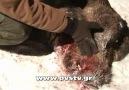 Domuz Katliamı