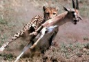 Do you know how many gazelles can be dangerous>>