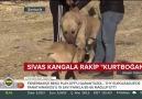 Dünyaca ünlü Sivas&Kangal köpeğinin Güneydoğu rakibi Kurtboğan
