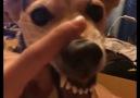 Dünyanın En Agresif Köpeği