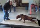 Dünyanın en Güçlü en Tehlikeli köpekleri Pitbullar