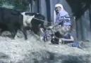 düvenle harman sürme - Çankirı Kurşunlu YEŞİLÖREN Köyü