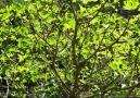 Ege-İncir - Incir yaprağı faydaları Facebook