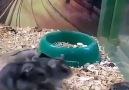 Eğleneyim Derken Kendi Kendini Buga Sokan Hamster