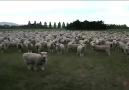 Eine Gesellschaft von Schafen